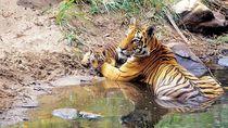 Potret Muslim dan Hindu Bersatu Lawan Harimau Suruhan Setan