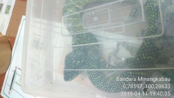 Petugas Karantina Padang Wilayah Kerja Bandara Internasional Minangkabau mengamankan ular berbahaya berbisa tinggi yang dikemas dalam sebuah kotak plastik. (Foto: dok. Istimewa)