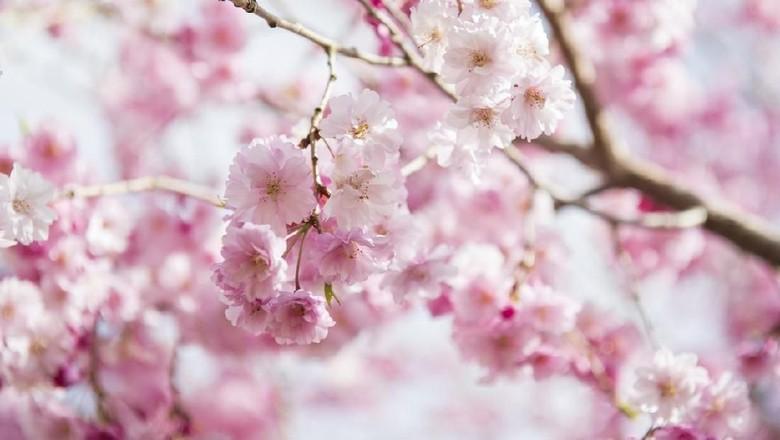 Foto: Ilustrasi bunga sakura (iStock)