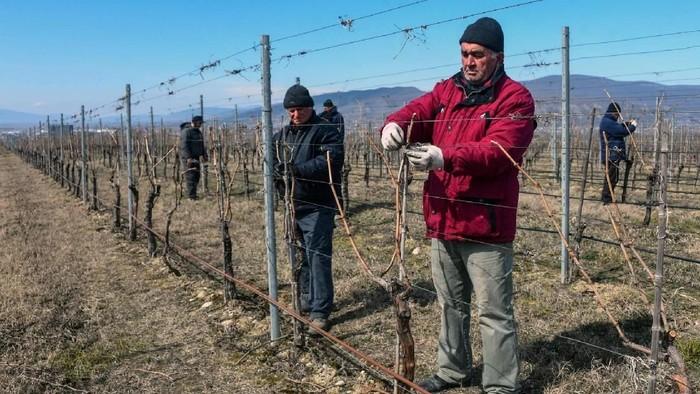 Kebun anggur di Tbilisi, Georgia. (Foto: Vano SHLAMOV / AFP)