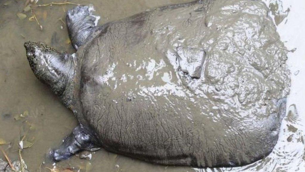 Kura-kura Terlangka di Dunia Ditemukan Mati di China, Kini Tersisa 3 Ekor