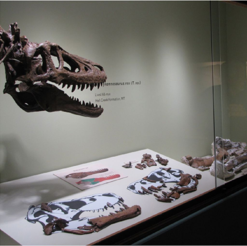Kontroversi Fosil Bayi T-Rex Dijual Rp 41,5 M di eBay