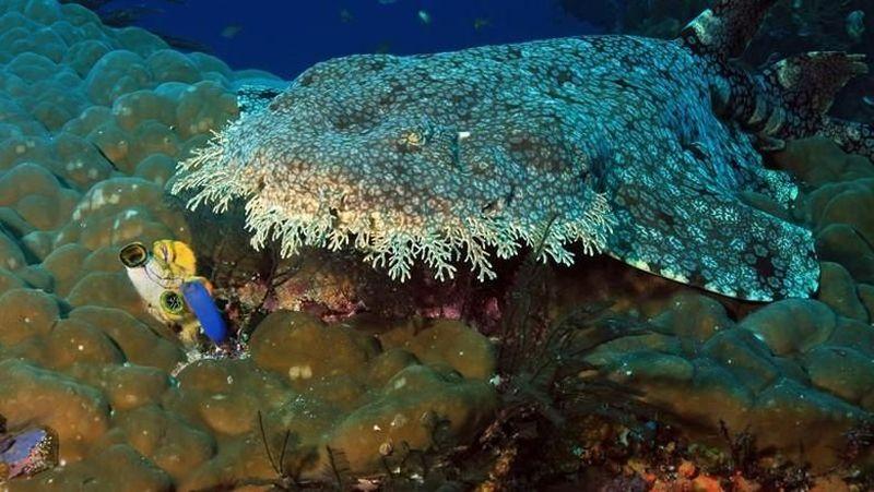 Hiu karpet yang langka banyak tinggal di wilayah perairan Raja Ampat, Papua Barat. Hewan laut ini pun disebut-sebut sebagai penunggu dasar laut Raja Ampat (Thinkstock)