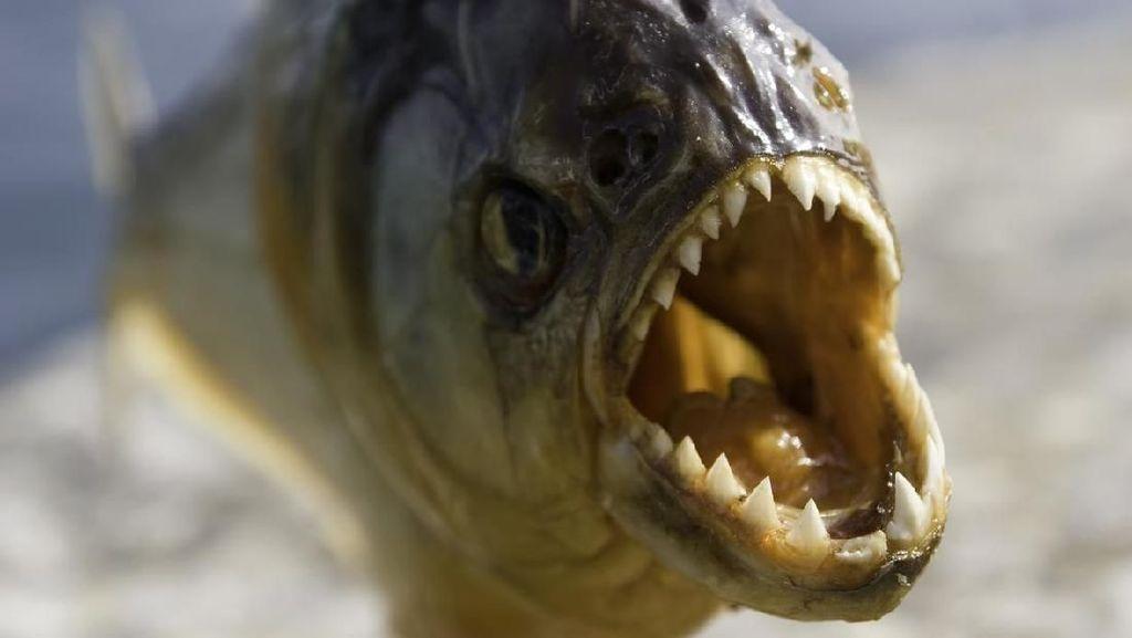 Seperti di Film, Danau di Inggris Diteror Ikan Piranha