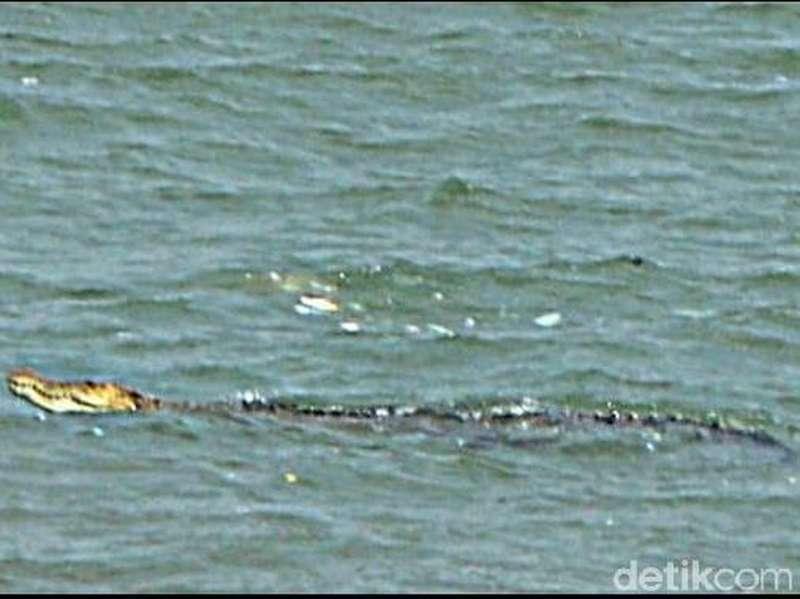 BBKSDA Jabar Lacak Buaya yang Muncul di Teluk Pangandaran