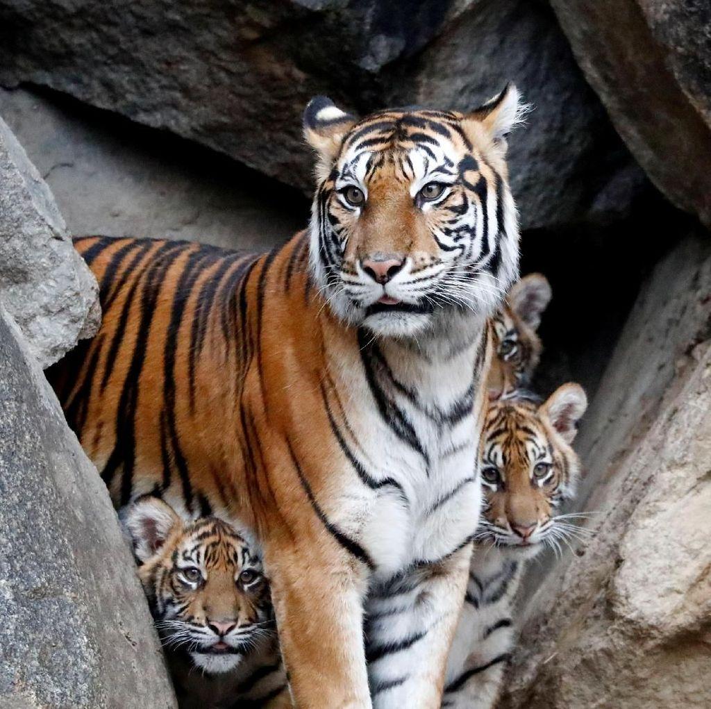 Penjaga Kebun Binatang di Kansas AS Luka Diserang Harimau Sumatera