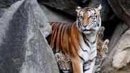 Jejak Harimau Sumatera Kembali Muncul di Kampar Riau