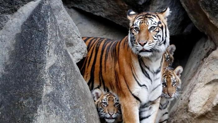 Ilustrasi harimau Sumatera yang kerap menyerang warga di Sumsel (Fabrizio Bensch/Reuters)