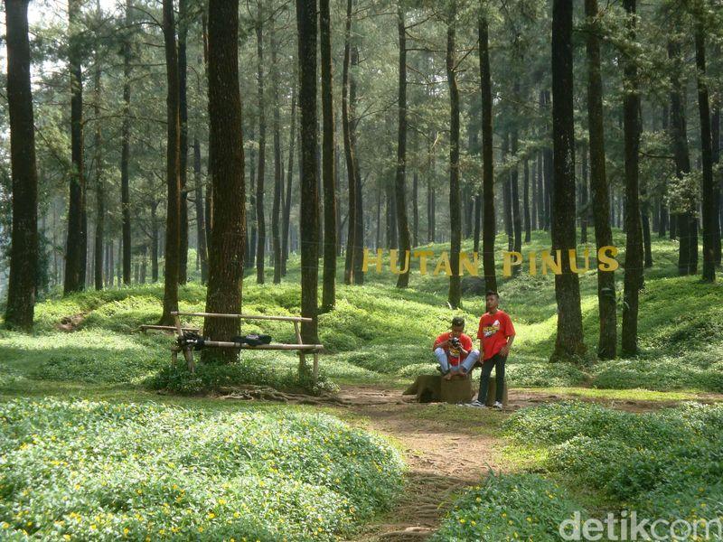 Berada di lereng kaki Gunung Slamet dengan ketinggian 750 Mdpl, inilah destinasi Hutan Pinus Limpakuwus. Hutan Pinus ini Instagramable buat lokasi foto-foto kamu. (Arbi Anugrah/detikcom)