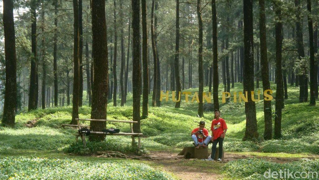 Bukan Cuma Yogya, Banyumas Juga Punya Hutan Pinus yang Indah