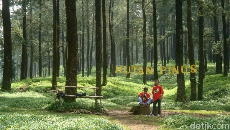Hutan Pinus Limpakuwus yang sejuk di Banyumas (Arbi Anugrah/detikcom)