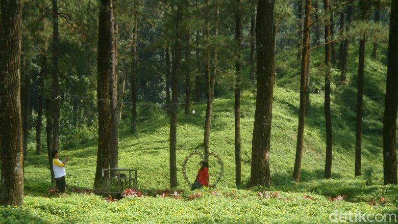 Hutan Pinus Limpakuwus di Banyumas