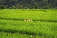 Pertanian Ramah Lingkungan di Jepang Pakai Bebek Sebagai Pembasmi Hama!