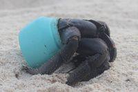 Sampah plastik membunuh hewan-hewan di laut (Dr Jennifer Lavers/ABC Australia)