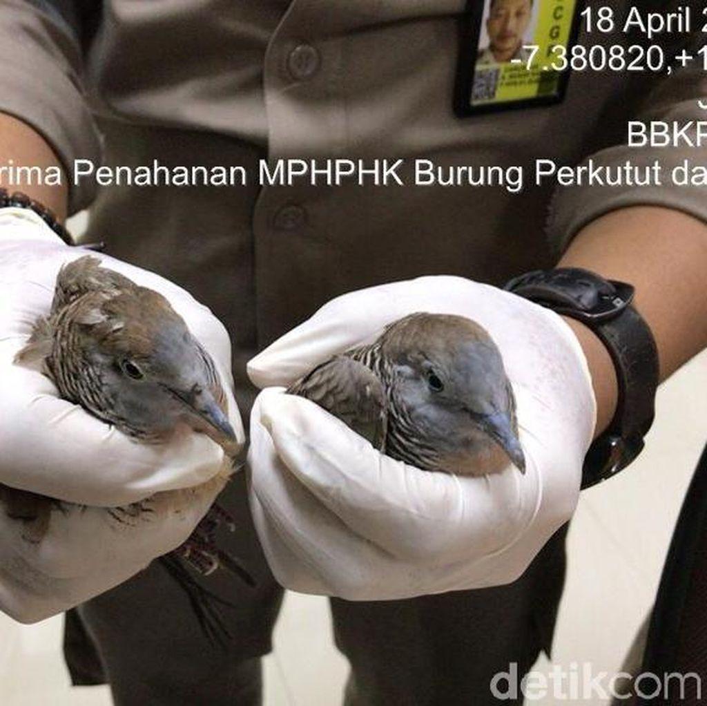 Penyelundupan Perkutut dari Malaysia ke Surabaya Digagalkan