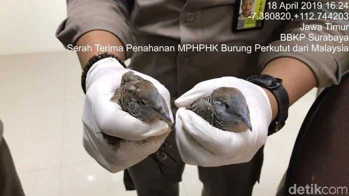Penyelundupan perkutut dari Malaysia/Foto: Istimewa