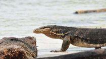 NTT Punya Pulau Komodo, Jawa Barat Punya Pulau Biawak