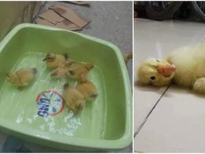 Wanita Ini Beli 24 Telur untuk Dimakan, Malah Berakhir Menetas Jadi Bebek!