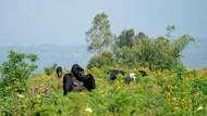 Foto: Tempat Gorila Sadar Kamera yang Viral