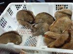 Jual 8 Ekor Kukang di Pasar Hewan Palembang, Santi Ditangkap