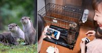 Ada Kafe Berang-berang di Jepang yang Dicurigai Merupakan Satwa yang Dilindungi