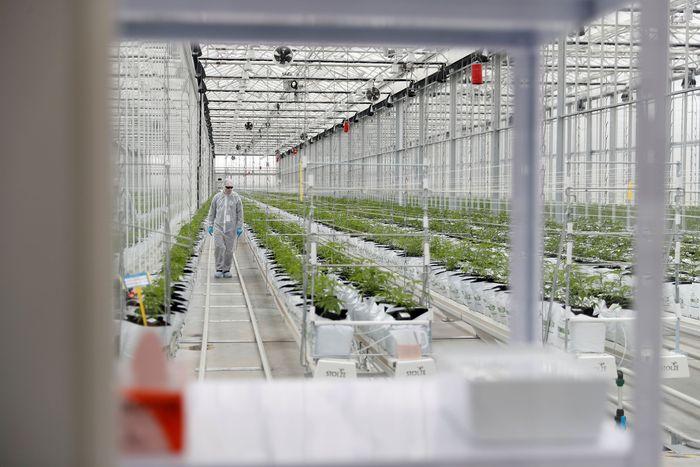 Seorang pekerja memeriksa pertumbuhan tanaman ganja yang dibudiyakan oleh perusahaan Tilray di Cantanhede, Portugal.