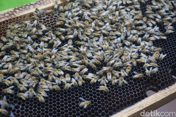 Ada berbagai jenis lebah yang dikembang biakkan di sini (Shinta/detikcom)