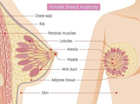 Ada berbagai versi ilustrasi yang menggambarkan struktur payudara