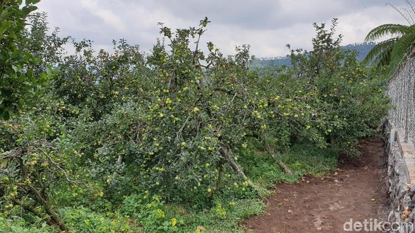 Wisata Petik Apel Agro Rakyat membudidayakan lima jenis apel yang ada di kota Batu. Traveler bisa mengambil paket wisata naik mobil Jip dari Batu AR Adventure untuk singgah ke kawasan ini. (Masaul/detikcom)