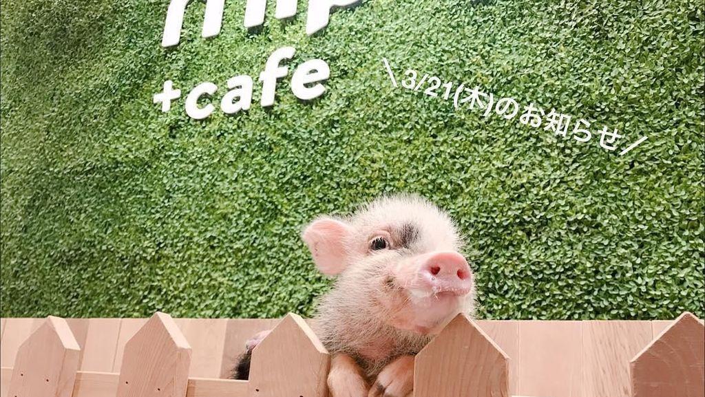 Santai di Kafe Tokyo Bisa Minum Teh Bareng Babi-babi Imut