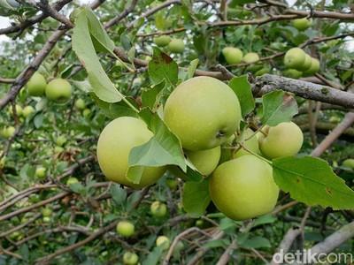 4 Tempat Wisata Petik Apel Malang, di Mana Saja?
