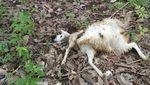 Potret Domba-domba Mati Bergelimpangan Dimangsa Macan Tutul Lebak