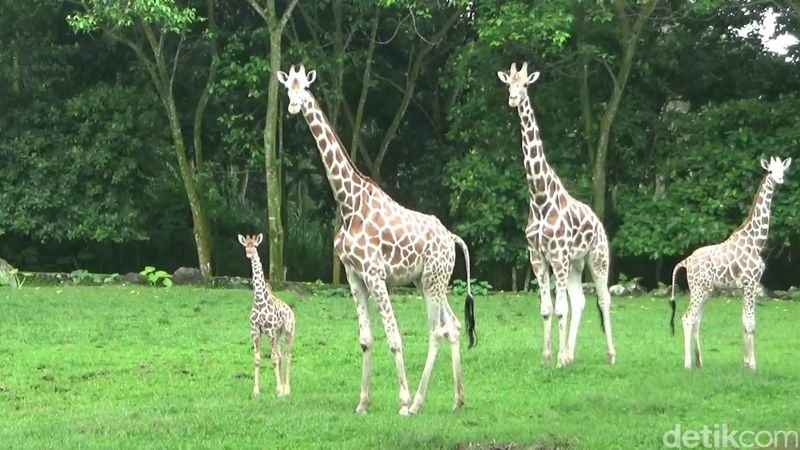 Jerapah di Taman Safari Prigen punya keluarga baru. Namanya Azzanti. (Muhajir Arifin/detikcom)