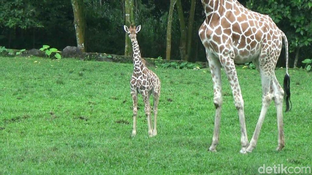 Perkenalkan Azzanti, Anggota Baru Taman Safari Prigen Pasuruan