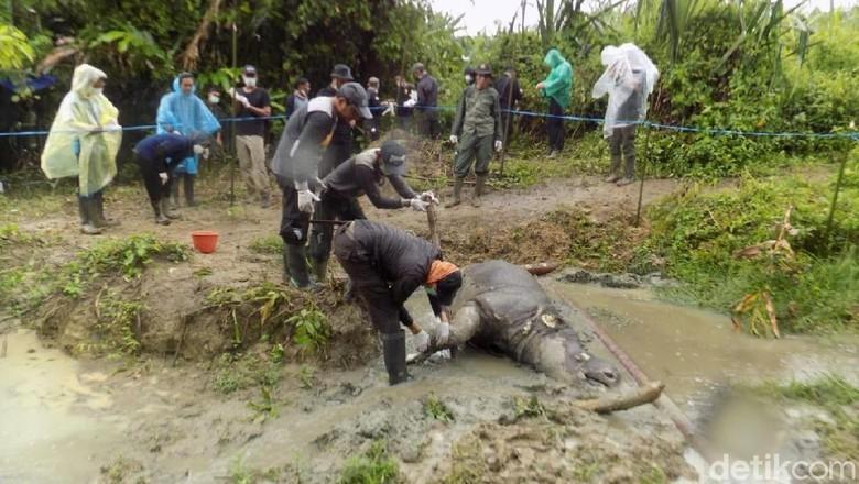 Badak Manggala Ditemukan Mati di TN Ujung Kulon