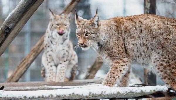 Taman Nasional Mavrovo adalah habitat Lynx Balkan. Mereka terancam dua pembangkit listrik tenaga air yang direncanakan untuk dibangun di sana (CNN Travel)