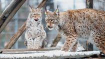 Haru Biru Cerita Pelindung Lynx, Kucing Langka Hampir Punah