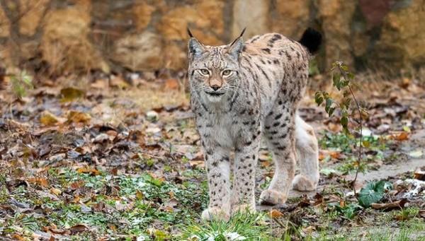 Lynx menjadi simbol nasional Makedonia Utara dan muncul pada koin lima dinar negara itu. Hanya ada 20 Lynx dewasa di pegunungan dan hutan alpine Balkan barat daya (CNN Travel)
