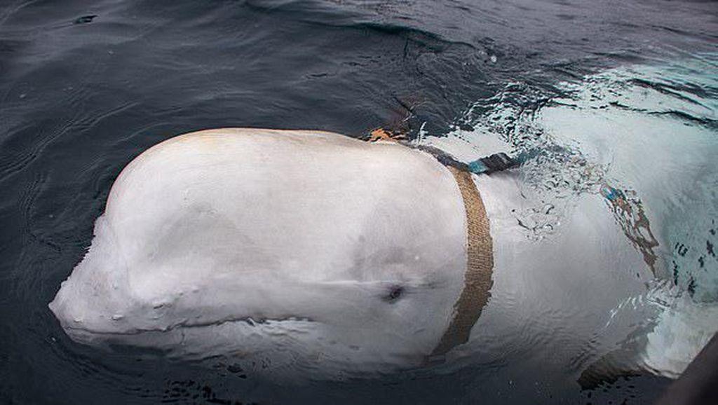 Paus Beluga Diduga Mata-mata Rusia Ambil Ponsel Tercebur di Laut