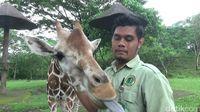 Gemas Banget! Taman Safari Prigen Punya Bayi Jerapah Baru