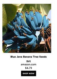 'Blue Java Banana', Pisang Unik Berkulit Biru yang Punya Rasa Seperti Es Krim