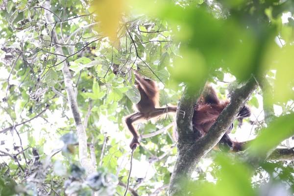 Setelah melewati beragam rintangan, akhirnya para host MTMA Survival menemukan orangutan. (MTMA)