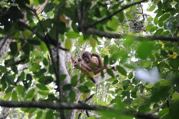 Terlihatlah orangutan sedang duduk santai di tengah ranting. (MTMA)