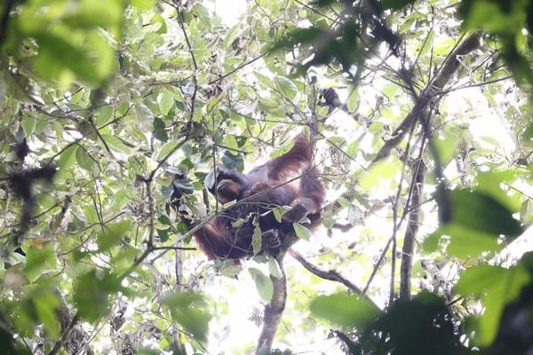 Petualangan survival di Kutai Timur menjadi hiburan ketika berjumpa orangutan. Sebelumnya, mereka melewati sungai coklat yang dihuni buaya (MTMA)