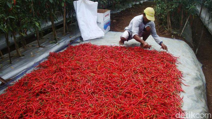 Ilustrasi cabai merah/Foto: Arbi Anugrah