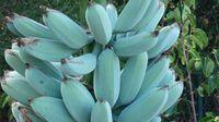5 Fakta Unik Pisang Biru, Buah Ajaib yang Cantik dan Rasanya Seperti Es Krim