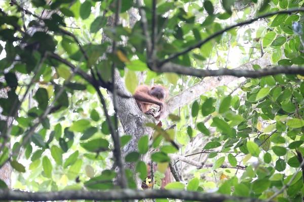 Setelah melewati panjangnya perjalanan yang penuh tantangan, akhirnya bertemu juga dengan orangutan Kalimantan. (MTMA)