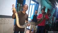 Ular Piton Sepanjang 5 Meter Ditangkap di Tengah Banjir Sidoarjo