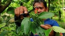 Mengembalikan Kejayaan Lada Lampung