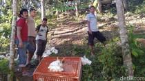Hindari Motor, Truk Pengangkut 3 Ton Ayam Terbalik di Trenggalek